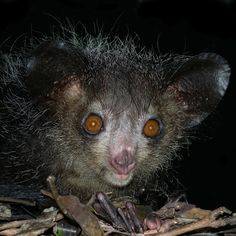 Where do aye-ayes live? In Madagascar! The aye-aye is a lemur. Like all other lemurs, it is native to Madagascar.
