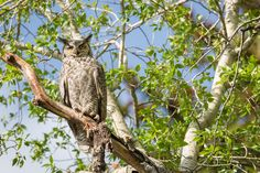 Great Horned owls found to be negatively affecting Black Tern populations in Ontario