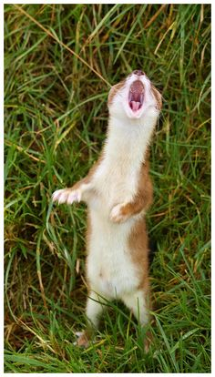 The singing stoat
