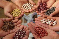 As sementes crioulas são um tipo antigo de semente, que guarda um repertório de seleção natural de milhares de anos.