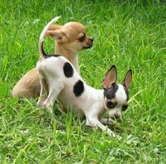 This 2 types of Chihuahua are very popular today. If you want to know the difference about apple head chihuahua and deer head chihuahua, read the short guide about them. Chihuahua Puppies, Cute Puppies, Pet Dogs, Dog Cat, Doggies, Chi Dog, Baby Animals, Cute Animals, Little Dogs