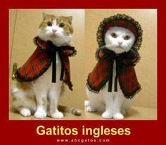 English kittens