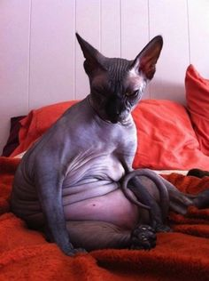 """POT BELLY KITTIES Sphynx cats tend to have big bellies, aka """"pot bellies."""" They eat twice as much as other cats, because they have a very fast metabolism. These cats like to eat, and they eat a lot. Fat Animals, Ugly Animals, Animals Images, Fat Cats, Cats And Kittens, Gato Sphinx, Timmy Time, Ugly Cat, Funny Animals"""