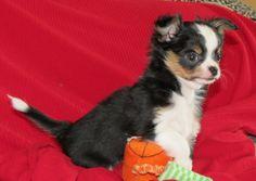 Will x Tiffany - Longcoat black and tan male Chihuahua Puppy