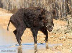 """Wild Boar, Hor-ol-azim Wetland"", Khuzestan Province, Iran (Persian: گراز -  تالاب هورالعظیم یا تالاب بزرگ هویزه بزرگترین تالاب استان خوزستان)"