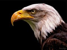 See related links to what you are looking for. Eagle Images, Eagle Pictures, Exotic Birds, Exotic Pets, Haliaeetus Leucocephalus, Eagle Wallpaper, Eagle Bird, Birds Of Prey, Paladin