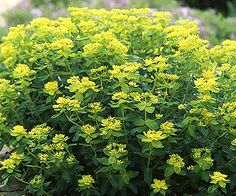 Rock wall plants on pinterest rock wall evergreen and for Low maintenance perennials zone 4
