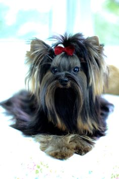 """Determine even more relevant information on """"yorkshire terrier puppies"""". Look at our site. Toy Yorkshire Terrier, Yorkshire Terrier Haircut, Yorkie Breeders, Yorkie Puppy, Chihuahua, Dog Thoughts, Alpha Dog, Teacup Yorkie, Aggressive Dog"""