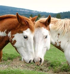 Paint Horses Google Image Result for…