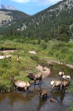 Rocky Mountain National Park, Colorado... I love these animals. :)