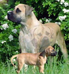 Boerboel_art Rare Dog Breeds, Akc Breeds, Sketch Painting, Watercolor Sketch, Japanese Mastiff, South African Boerboel, Mastiff Dogs, Cute Cats And Dogs, Cat Stuff