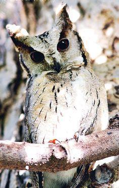 The Eastern Screech Owl (Megascops Asio). Beautiful Owl, Animals Beautiful, Owl Bird, Pet Birds, Animals And Pets, Cute Animals, Screech Owl, Owl Pet, Tier Fotos