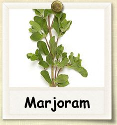 Marjoram is indigenous to the Mediterranean area, and was known to the Greeks and Romans as a symbol of happiness. Related to oregano, it is sweeter, with a piney, citrus flavor. Herb Garden, Vegetable Garden, Growing Herbs, Photographing Babies, Fresh Herbs, Compost, Gardening Tips, Outdoor Gardens, Planting Flowers