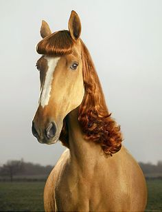 coiffed horse