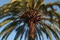 Mon palmier, ce seigneur -Brahim BOUMEDIEN- - Plume de Poète