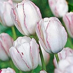 "Playgirl Tulip Plant this fancy new variety in a prominent spot so you can enjoy every phase of its bloom time. Playgirl's sparkling white petals are delicately lined with a rich red picotee edge. As blooms mature, the brilliant red bleeds down into the white for a completely different colouration.  Zones: 3-8 Bulb Size: 12+ cm Height: 22-24"" Bloom Time: Mid Spring - tall, generic looking"