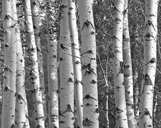 Beautiful grove of white birch trees in a woodland forest. This black and white photo is great for a modern city loft or a mountain cabin. It would look amazing in a minimalist living room or man cave. Black and white photos are amazingly versatile, and are perfect for a variety of home decor