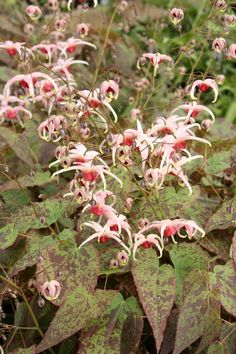 Epimedium 'Pink Champagne'.. This is one of the coolest and most beautiful plants!  It will be blooming in my garden soon!