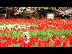 Tulip / チューリップと桜 ふれあいの森 大和市 20110408 Goro@Welsh #Corgi