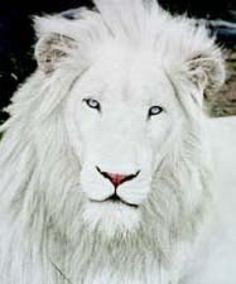 Albino lion~~wow, what a gorgeous animal!