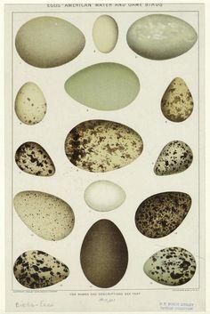 Eggs - bird eggs.  Via NY Public Library Digital Gallery
