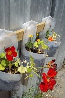Using recycled plastic milk bottles as flower pots. The handle of the milk jug acts as a hook to hang the pots. DIY, Gardening