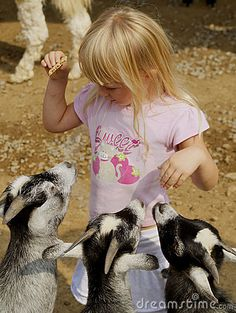 Three hungry goats wanting food from a little girl at the petting zoo