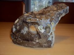 Flinteblok med to fossile søpindsvin, fundet på Knud Strand, 11. marts 2012