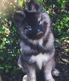 los rasgos que respetamos sobre el juguetón cachorro de husky siberiano # die eigenschaften, die wir über den spielerischen siberian husky pup respektieren Agouti Husky, Siberian Husky Puppies, Husky Puppy, Siberian Huskies, Husky Mix, Beautiful Dogs, Animals Beautiful, Cute Puppies, Dogs And Puppies