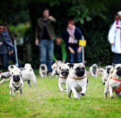 Running of the pugs.