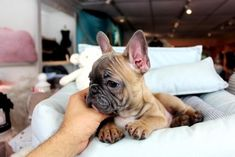 French Bulldog Puppies For Sale, dogs for sale Teacup Dogs For Sale, Teacup Puppies For Sale, Bulldog Puppies For Sale, Tiny Puppies, Best Puppies, French Bulldog Puppies, Mini French Bulldogs, French Bulldog Pictures, Little Dogs