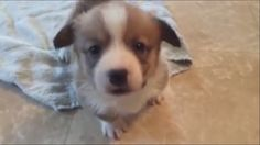 https://www.youtube.com/watch?v=QYFkfh0E1WUMy 3 week adorable corgi puppy trying to escape the towel!
