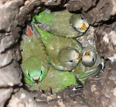 Red-rumped baby parrots.