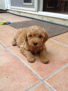 labradoodle puppy - my sweet girl Labradoodles, Sweet Girls, Cute Puppies, Ted, Friends, Dogs, Animals, Amigos, Animales
