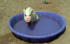 Piggy Sue taking a cooling dip