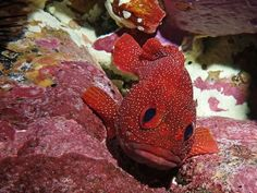 Photo: Strawberry cod is ready for her close-up