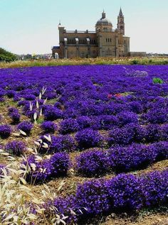 Lobelia Fields in Ta' Pinu Sanctuary, Gozo | Malta