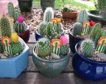 Desert Cactus Premium  Dish Garden 4 inch clay pot.