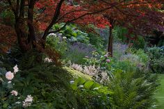 The view from under the Acer palamtum atropurpureum, with roses 'Gruss an Aachen' in the foreground and 'Jacques Cartier' in the middle. The Astilbe simplicifolia next to the Hakonechloa macra 'Aureola' and Bergenia ciliata is 'Darwins Snow Sprite'. Lavendula, Linaria, Erodium and Schizostylis in the background. From our garden.