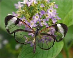 Greta oto - The Transparent Glass-winged Butterfly - Flickr - Photo Sharing!