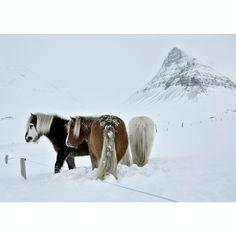 fluffy icelandic horses in the westfjords