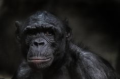 Bonobo by Gwen Bauersachs - Photo 61848441 - 500px