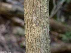 Fringetree (Chionanthus virginicus) Fringe Tree, Plants, Plant, Planting, Planets