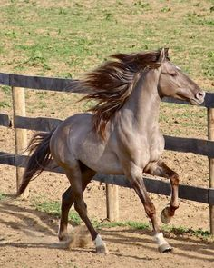 Pretty horse running at the fence.