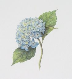 "Cheryl Miller Studio: Hydrangea ""Nikko Blue"""
