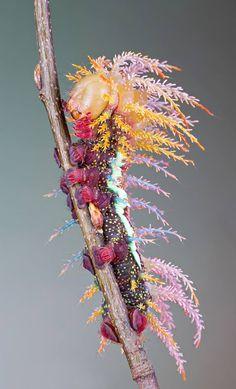 saturniidae moth's caterpillar
