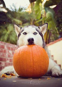 Siberian Husky Pumpkin