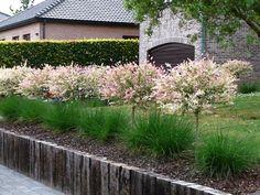 Върба Salix integra Hakuro Nishiki | Сортови Семена и растителна защита ЕООД