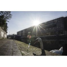 Swan in the channel. #London #photography #photooftheday