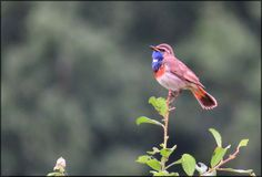 Blauwborst, Bluethroat, Luscinia svecica ( Male )